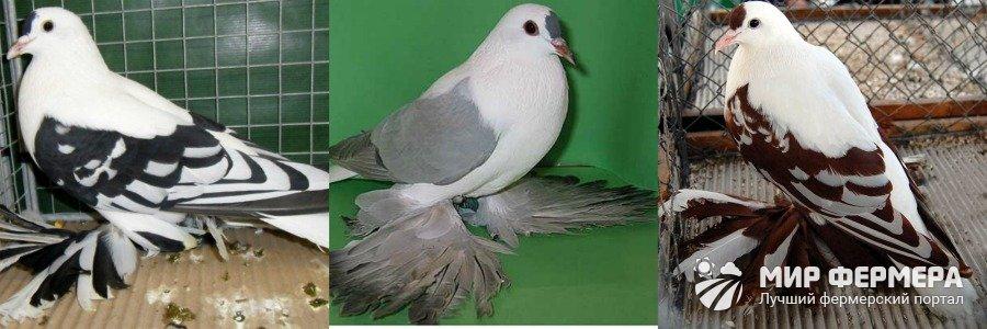 μεγάλο πουλί φυλή