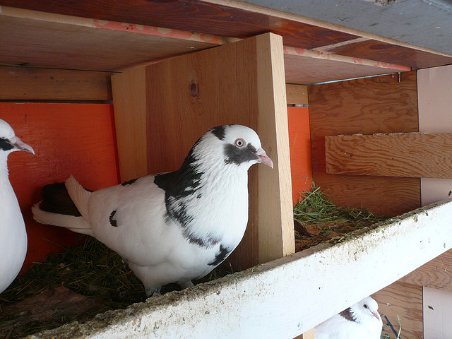 μεγάλο μακρύ μαύρο πουλί γαμημένο κερατάς σκατά βίντεο