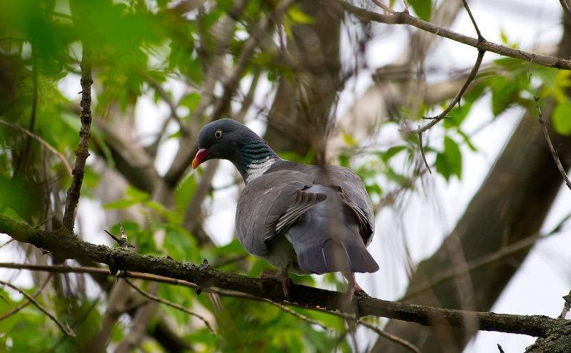 ασιατικό πιπιλίζουν μεγάλο πουλί