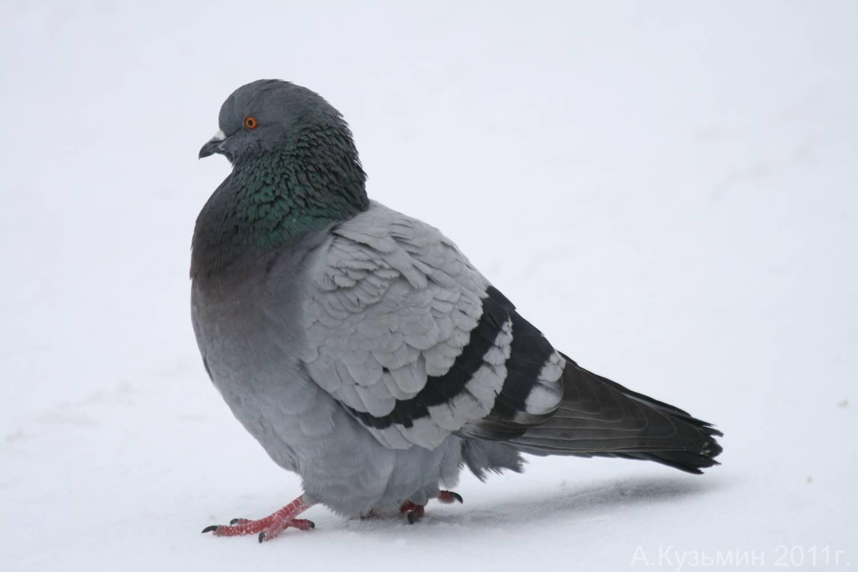 Görkemli yırtıcı: kümes kuşu